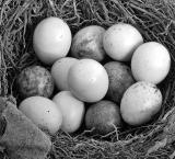 A clutch of eggs *