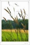 A Tilting of Tallgrass *