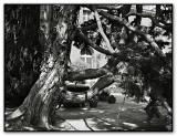 elderly cypress *
