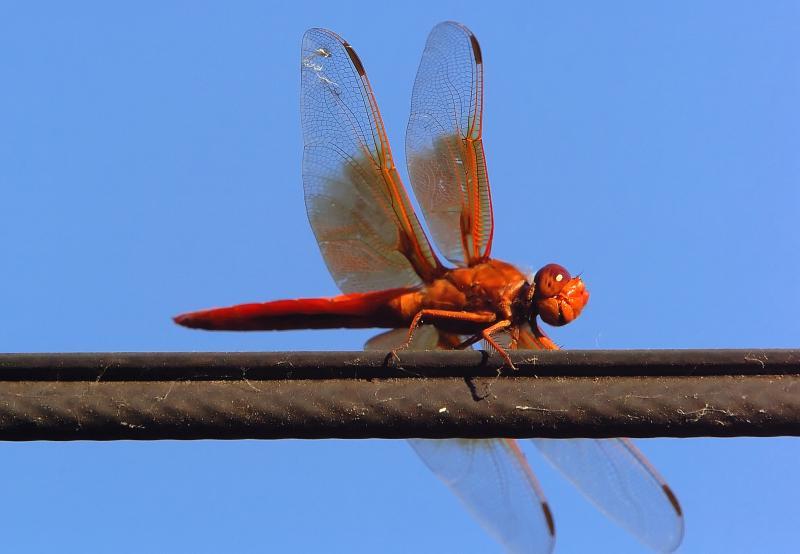 D2H_3344Dragonfly.jpg