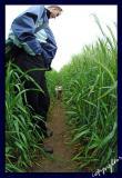 in the barley jungle