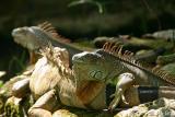 Iguana-Taiping Zoo.jpg