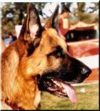 German Shepherd-41