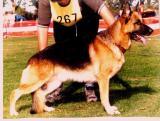 German Shepherd-42