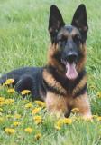 German Shepherd-44