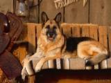 German Shepherd-50