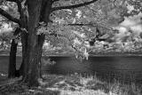 Shore Tree.jpg