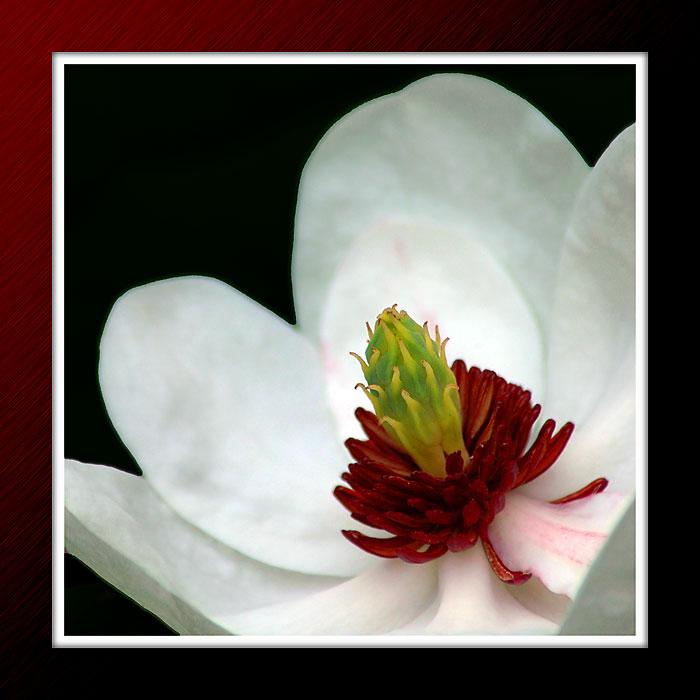 Magnolia flower, Forde Abbey, Chard, Somerset