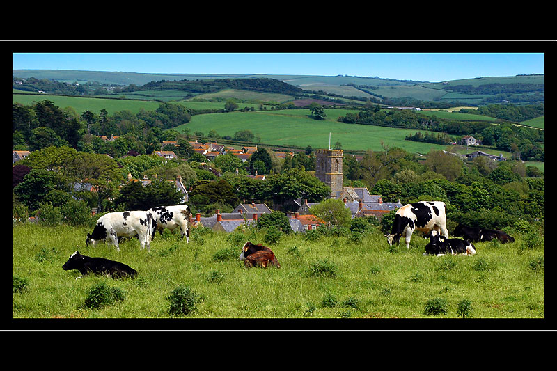 Cows and Burton Bradstock, Dorset