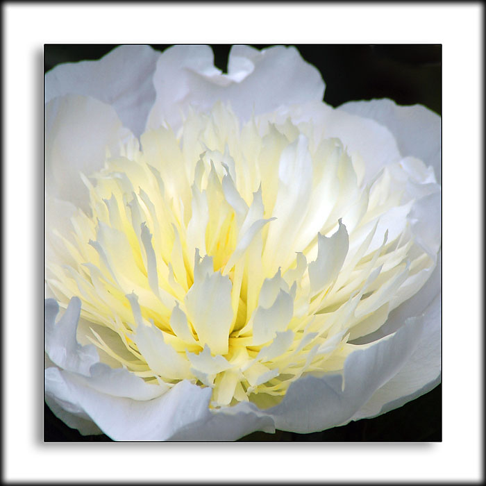 White peony, Crathes Castle gardens, Banchory (1792)