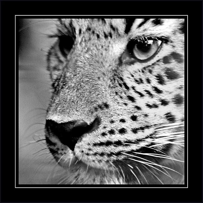 Leopard, Cricket St. Thomas, Somerset