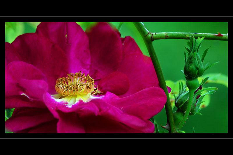 Deep pink rose, the walled garden, Ballindalloch Castle, Banffshire, Scotland