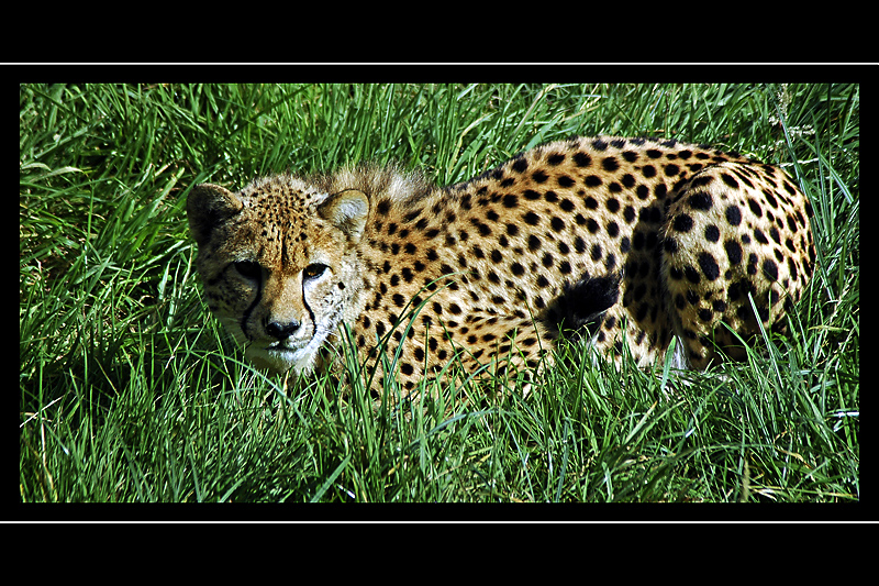 Cheetah in the grass, Cricket St. Thomas, Somerset