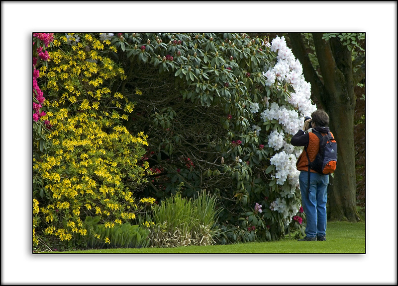 Snapping the rhododendrons ~ Stourhead