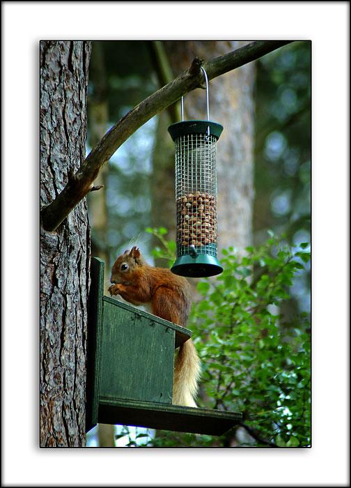 Red squirrel, Loch Garten RSPB Reserve, Invernesshire, Scotland