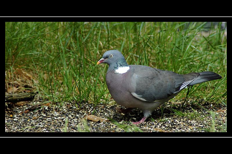 Pigeon, Loch Garten RSPB Reserve, Invernesshire, Scotland
