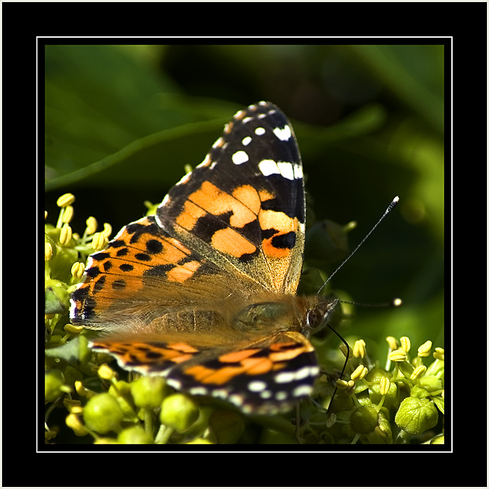 Painted Lady, Hinton St. George, Somerset