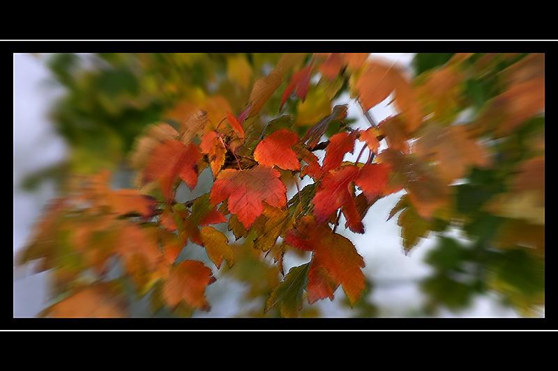 Red leaf zoom, St. Johns churchyard, Yeovil, Somerset