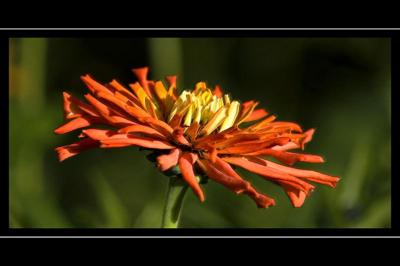Fiery orange flower, Beaminster, Dorset
