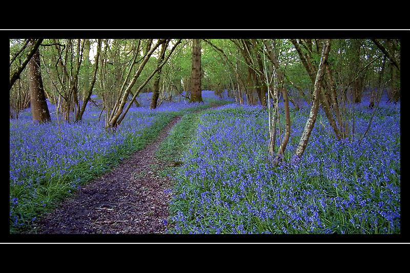 Bluebell path, near Yeovil, Somerset