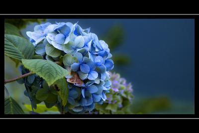 Blue hydrangea, Stourhead, Wiltshire