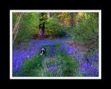 Dog amongst the bluebells