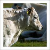 Cow near Ham Hill