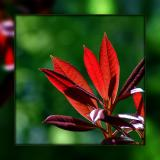 Backlit red leaves, Knightshayes Court, near Tiverton, Devon