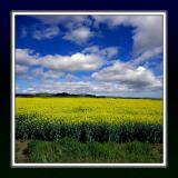 Rape field and clouds, south Somerset