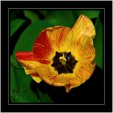 Red'n'yellow tulip, Barrington, Somerset