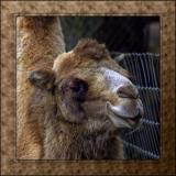 Camel, Cricket St. Thomas, Somerset