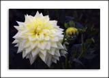 White and lemon dahlia, Gant's Mill, Bruton, Somerset