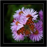 Comma butterfly, Tintinhull Gardens, Somerset