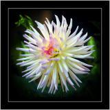 Spiky dahlia, Botanic Garden, Lacock, Wiltshire