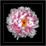 Pink, white and yellow tree peony (3332)