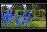 Delphiniums, Mount Stewart, Newtownards, Co. Down, N. Ireland
