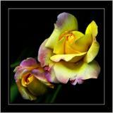 Multicoloured rose, can'trememberwhere!