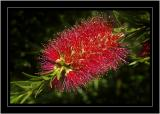 Bottlebrush, Mapperton Gardens, near Beaminster (1506)