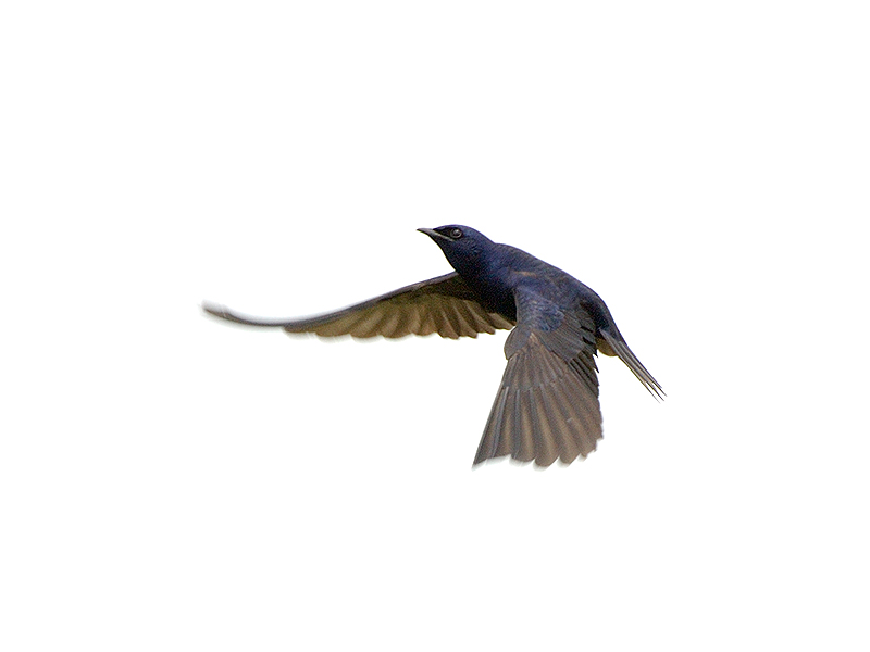 Purple Martin in Flight