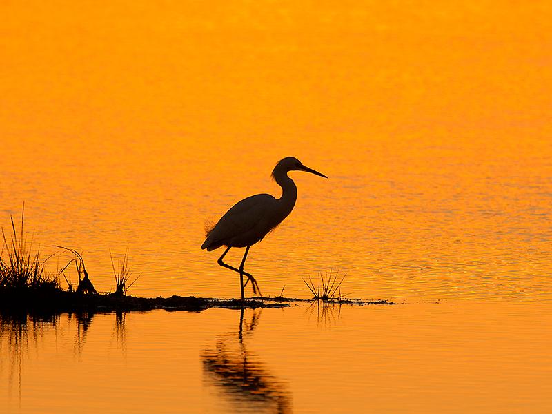 148 snowy egret silhouette at sunset photo jim fenton photos at