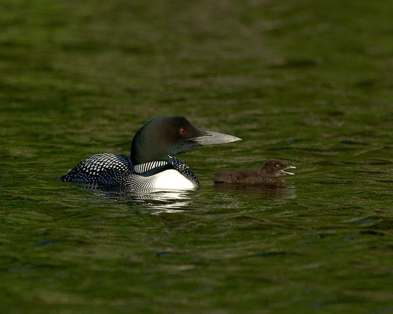 240 Common Loon With Chick