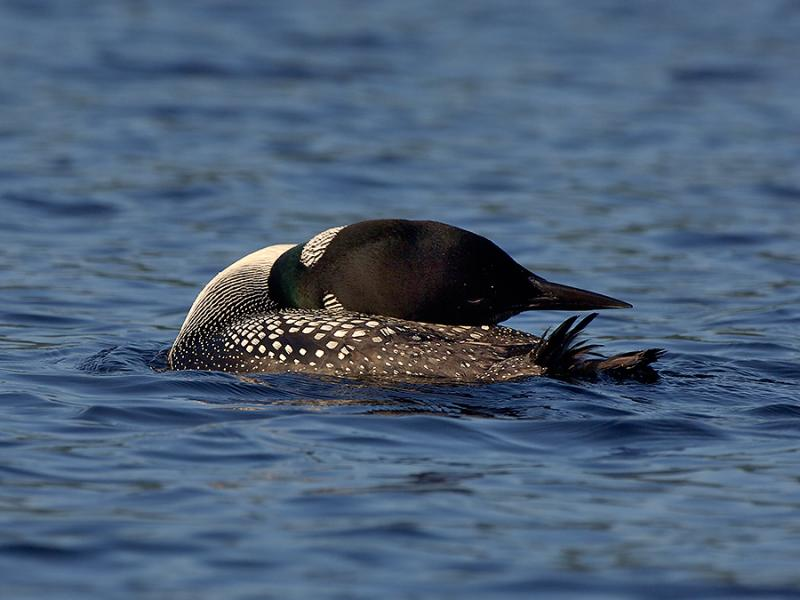 Grafton Pond  Enfield New Hampshire Loon Preening 1