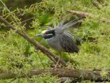 137 Yellow Crowned Night Heron