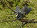 138 Yellow Crowned Night Heron