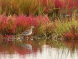 19-Yellow Legs in Fall Marsh Grass