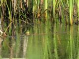 A bullfrog surveying his domain