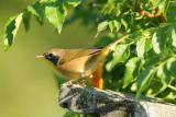 Common Yellowthroat, juvenile male