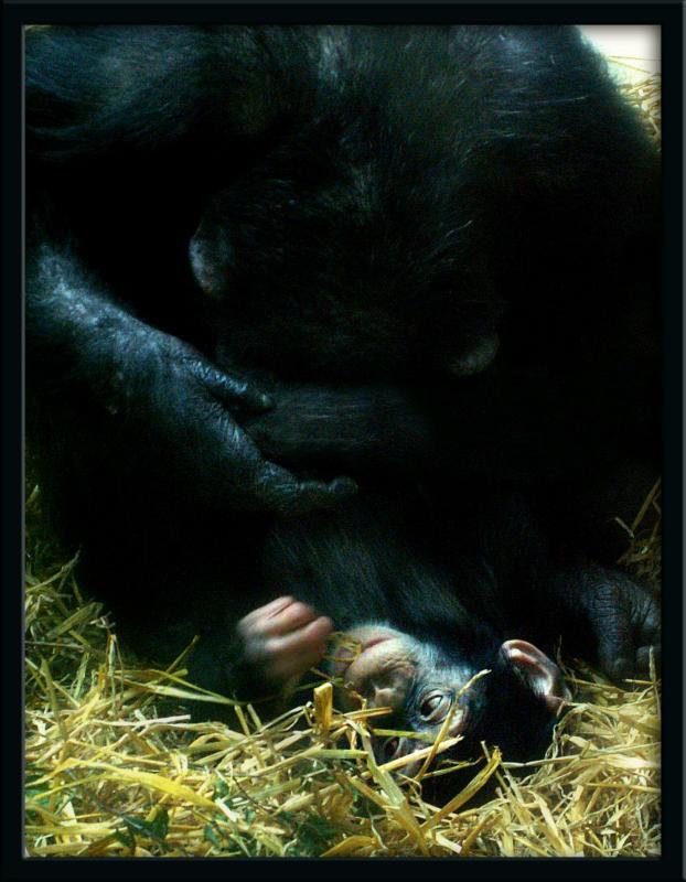 <strong>3rd Place:</strong>Chimpanzees - appetite for more (Lisbeth Landstrøm)