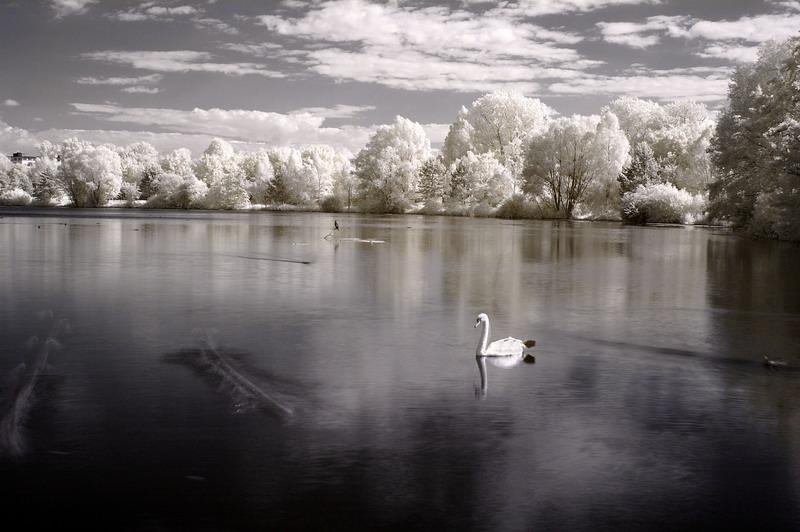 Patient swan and impatient ducks