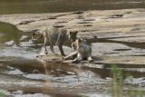 Lions Playing in Water